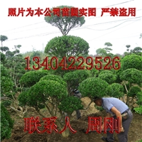 苏州造型黄杨树苗圃 造型小叶黄杨培育基地