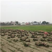 供应衡阳优质兰引三号草皮,质量好,价格低