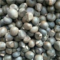 辽宁省文冠果种子