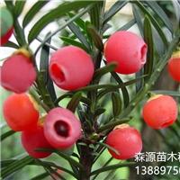 辽宁省红豆杉种子价格一览表