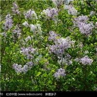 紫丁香 白丁香 华北连翘 东北连翘 金钟连翘 迎春