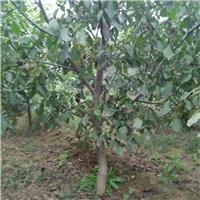 核桃树,占地核桃树,核桃树价格
