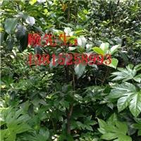 苏州桂花树,金银桂,丹桂,苏州绿化苗木苗圃