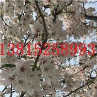 苏州樱花树,国樱晚樱早樱,日本染井吉野樱花
