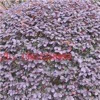 苏州红花继木桩,红花继木,景观造型树