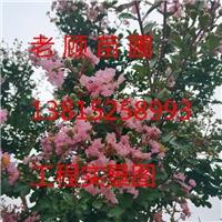 苏州紫薇树,造型紫薇桩,绿化工程施工