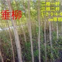 柳树插穗种根一二三年苗及大苗