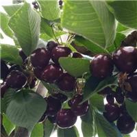 供应1-2公分优质樱桃苗