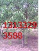 山西桃树、杏树2-8公分报价