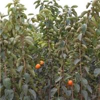 次郎甜柿价格-供应1-2公分优质柿子苗