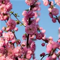 供应 榆叶梅种子 鸾枝 北方耐寒品种