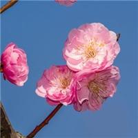批发 榆叶梅种子 冬季沙藏催芽处理