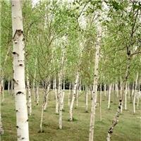供应 白桦种子 多少钱一斤厂