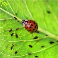 供应多种天敌昆虫瓢虫