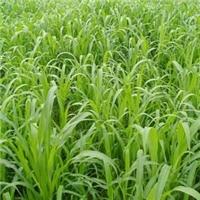 墨西哥玉米草种子,牧草种子,大刍草种子