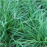 麦冬大家认识吗?麦冬是一种很具药效的植物