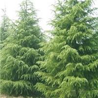 供应《雪松》等园林绿化苗木