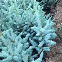 美国蓝杉  15-25公分营养杯蓝杉树苗