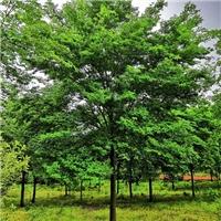 供应18公分榉树 精品榉树各规格