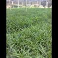 基地供应大量绿化棕竹小苗 规格齐全