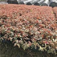 庭园绿化植物苗红背桂 大量供应