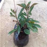 福建绿化树木地被苗琴叶珊瑚批发供应