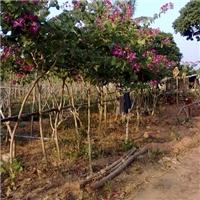 批发园林工程绿化小乔木红花紫荆大量供应
