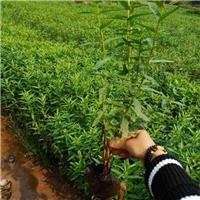 千屈菜|群锋水生植物有限公司基地直销