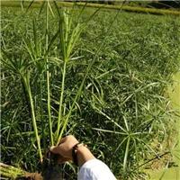 旱伞草|风车草|风车草供应商
