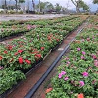 批发优质地被观花植物凤仙 凤仙市场报价