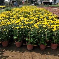 市政绿化工程用地被花卉万寿菊常年大量供应厂
