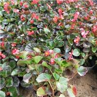 园林绿化观花植物四季秋海棠常年大量供应厂