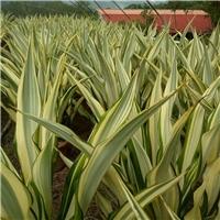 厂家直销优质盆栽室内植物万年麻 规格齐全厂