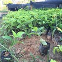 基地批发绿化工程苗木大花芦莉 多规格供应