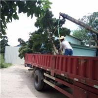 长期批发四季常青大型园林绿化树罗汉松厂