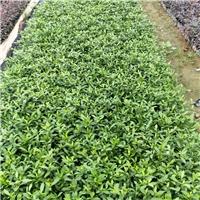 萧山苗圃直销优质小叶栀子 成活率高