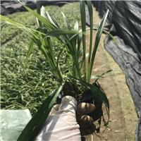 绿化景观工程供应吉祥草袋苗多规格大量供应