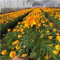 耐寒秋播花卉盆栽植物孔雀草大量供应