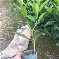 多规格供应盆栽地栽苗非洲茉莉 物美价廉