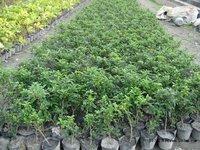 福建种植基地批发供应清香木胡椒木质优价廉厂