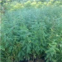 福建种植基地批发供应清香木胡椒木质优价廉