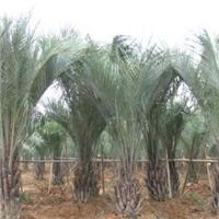 庭园植物大型树布迪椰子多规格大量供应