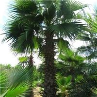 苗木种植基地大量批发供应老人葵规格齐全厂