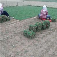 兴义市哪里有便宜马尼拉草皮