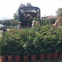 精品迷你造型树盆栽绿宝多规格供应厂