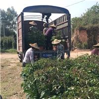 精品迷你造型树盆栽绿宝多规格供应
