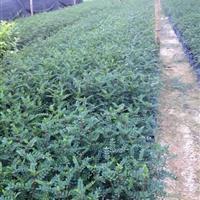 基地直销小区绿化工程苗木胡椒木厂