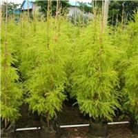 小区庭园观叶植物千层金长期大量供应