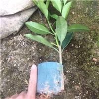 四季常青净化空气盆栽非洲茉莉大量供应厂