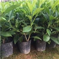 四季常青净化空气盆栽非洲茉莉大量供应